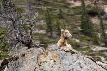 Bighorn Sheep 12